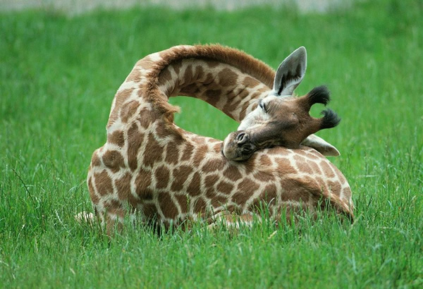 baby-giraffe-sleeping
